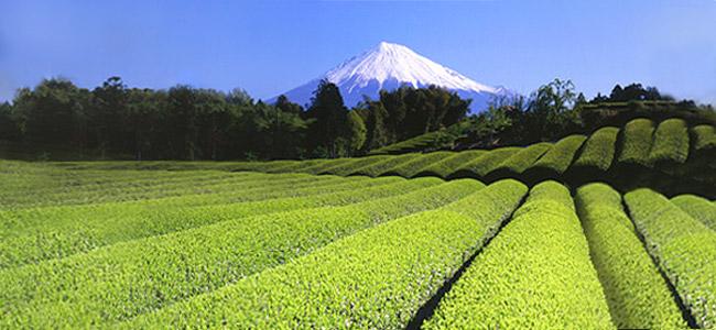 O chá verde