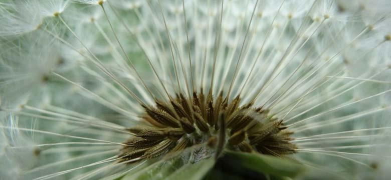 O chá verde contra a febre de feno e as alergias