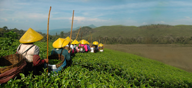 A história do chá verde