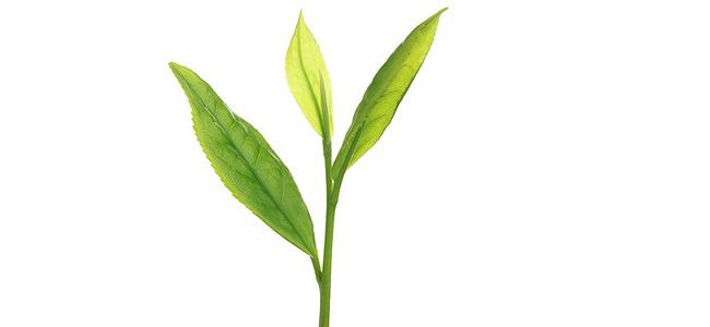Chá verde e o câncer