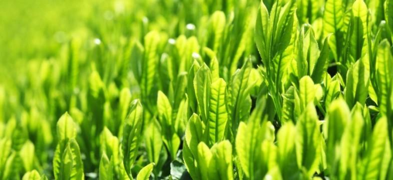 O chá verde na prevenção e tratamento de doenças
