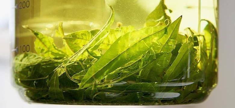 Chá verde para a diverticulite, diverticulose e divertículos