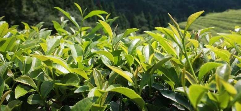 Chá verde para a diverticulite