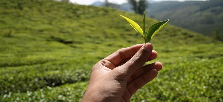 Chá verde para a diverticulite grave