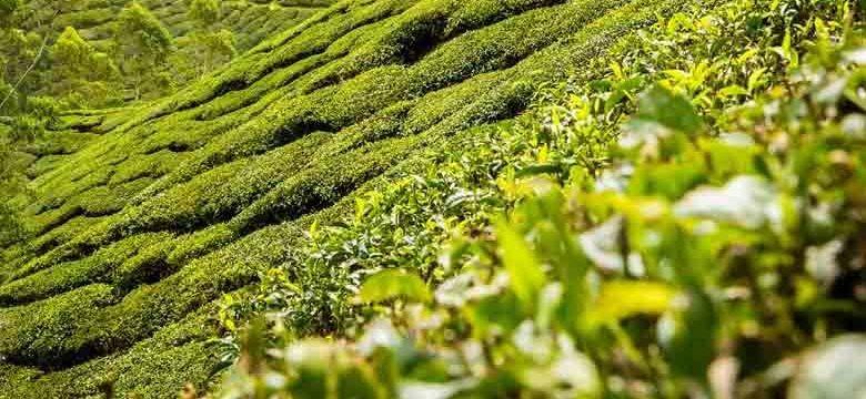 Chá verde para a diverticulose