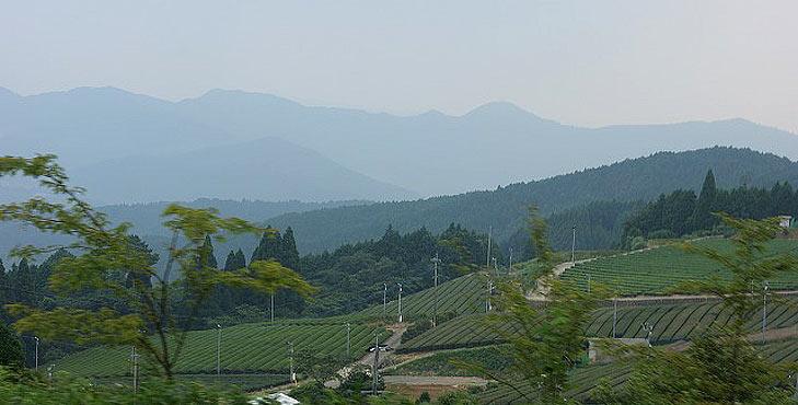 gyokuro-plantacao-hoshino