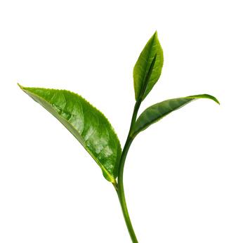 folha-cha-verde