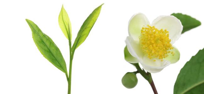 Chá verde com açúcar, mel ou leite?